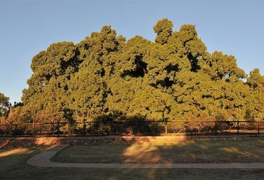 1000 year old fig tree pretoria